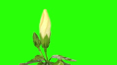 Blooming white Hibiscus flower buds green screen, FULL HD Stock Footage