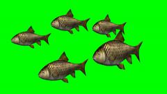 carp fishes swimming slow - green screen - 4k - stock footage