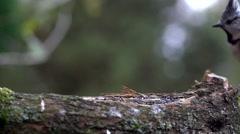 Chestet tit in autumn Stock Footage