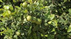 Green Lemons Stock Footage