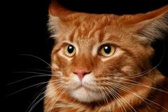 Close-up red Maine Coon Stock Photos