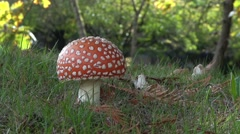 Fly Agaric Mushroom In Autumn Forest 01 - stock footage