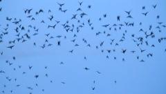Crows flying fast Stock Footage