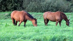 Horses feeding grass in the meadow Stock Footage