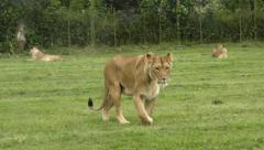 Lioness walking purposefully across a grassy field Stock Footage
