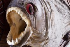 Piranha fish close up with mouth wide open Stock Photos