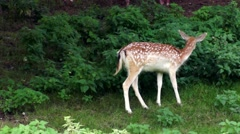 Young deer feeding in woodland clearing. British Wildlife. Stock Footage