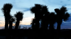 Time Lapse of Joshua Tree at Sunrise in Desert -Close Up- - stock footage