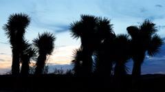 4K Time Lapse of Joshua Tree at Sunrise in Desert Stock Footage