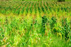 corn field in agricultural rural landscape - stock photo