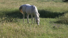 Gray horse with a braid in a mane is grazed on a green meadow Stock Footage