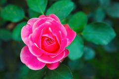 pink rose bud closeup. - stock photo