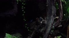 4k Blue poison dart frogs Stock Footage