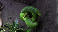 4k Emerald tree boa side view in terrarium flat rocky background Stock Footage
