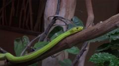 4k Western green mamba closeup moving near house Stock Footage