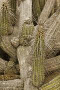 cactus of atacama - stock photo