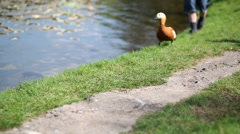 Duck is on shore of lake and foot of boy walking after her Stock Footage