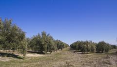 olive orchards - stock photo