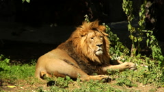 A sunlit Asian lion, lying on the dark shadowy background. Stock Footage