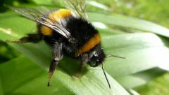 Bumble bee on a leaf preening itself with sound Stock Footage