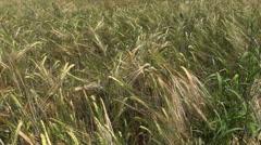 Ripe rye (Secale) swing downwind. Stock Footage