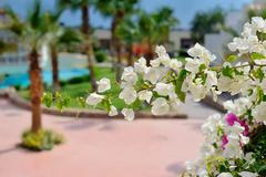 white blooming tree branch on a background of palm trees and swimming pools - stock photo