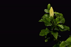 6K. Blooming white Hibiscus flower buds ALPHA matte, Ultra HD Stock Footage