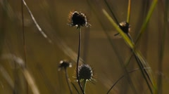 Dried burdock flower on autumn meadow Stock Footage