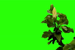 6K. Blooming white Hibiscus flower buds green screen, Ultra HD Stock Footage