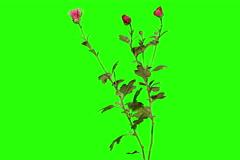 6K. Blooming violet chrysanthemum flower buds green screen, Ultra HD Stock Footage