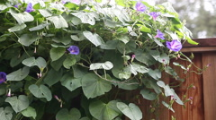 Morning glories on a fence Stock Footage