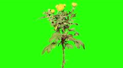 6K. Blooming yellow chrysanthemum flower buds green screen, Ultra HD Stock Footage