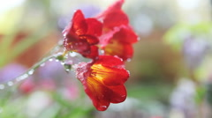 Freesia flowers with water drops Stock Footage