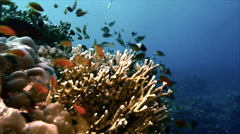Sea goldies in firecoral Stock Footage