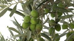 Ephesus Turkey green olives on tree Sirince village HD Stock Footage
