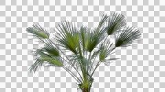 Palm tree branch with alpha Stock Footage