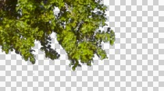 Tree branch alpha Stock Footage