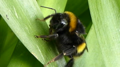 Bumble Bee Rests then Walks over Leaves with sound - stock footage