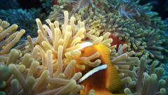 Some clownfish in huge anemone, coral reef, red sea Stock Footage