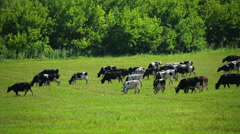 Large herd of cows on pasture Stock Footage
