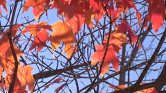 Spectacular red orange yellow fall colors on bright sunny day Stock Footage