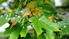autumn tree (forest) - detail autumn leaves - water drops on leaf - illness tree - stock footage