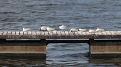 Seagulls sitting on the dock Stock Footage