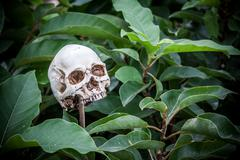 Human skull stab on bamboo piece Stock Photos