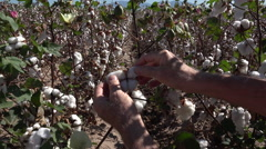 4K Hands Pick Cotton Flower Field Stock Footage