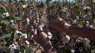 Stock Video Footage of 4K Hands Pick Cotton Flower Field