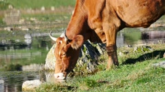 Cow drinking water from lake on sunny day Stock Footage