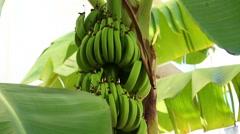 Tilt shot of banana tree in the Florida Keys Stock Footage