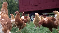 Closup of Heritage Chickens and Chicken Coop.mp4 Stock Footage