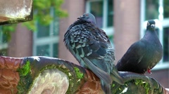 Pigeons drinking water from an old mossy fountain Stock Footage